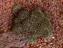 кактус цветет красный цвет Стоковое фото RF