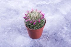 кактус цветет пинк стоковая фотография rf