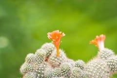 кактус цветет помеец Стоковые Фото