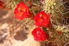 Кактус чашки красного вина цветет цветене в пустыне Юты Стоковое Изображение RF