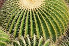 кактус шарика стоковое фото rf