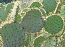 Кактус шиповатой груши при позвоночники накаляя в солнце Стоковое Изображение RF