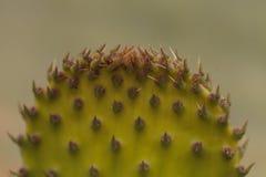 Кактус шиповатой груши, Opuntia, пусковая площадка Стоковое Фото