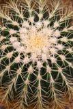 кактус Стоковые Фотографии RF