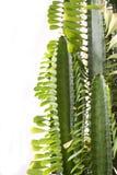 кактус Стоковые Изображения RF