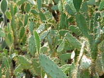кактус Стоковые Фото