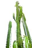 кактус Стоковая Фотография RF
