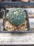 Кактус Astrophytum Asterias Стоковые Изображения