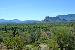 Кактус Cardon, Нижняя Калифорния del Sur, Мексика Стоковое Изображение RF