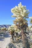 Кактус Cholla в национальном парке дерева Иешуа Стоковые Фотографии RF