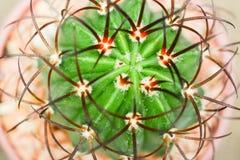 Кактус (diersianus мелокактуса) Стоковое Изображение