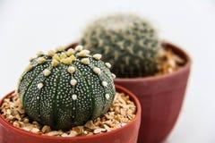 Кактус Echinocactus стоковое фото rf