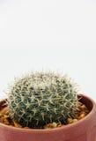Кактус Echinocactus стоковая фотография rf
