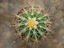 Кактус (Echinocactus) Стоковое Изображение