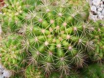 Кактус Echinopsis Стоковые Фотографии RF