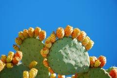 кактус fruits груши шиповатые Стоковое фото RF