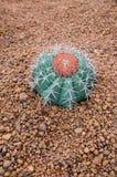 кактус fuerteventura земная Испания Стоковое фото RF