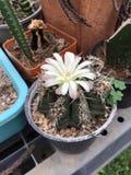 Кактус Gymnocalycium с цветком Стоковое Фото