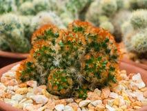 Кактус (Gymnocalycium) Стоковые Изображения