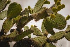 Кактус Nopal с много смокв в Мексике стоковые изображения
