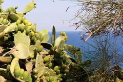 Кактус Opuntia со съестными плодами на предпосылке моря на побережье Испании стоковая фотография rf