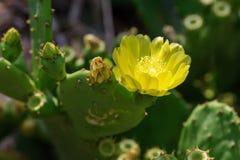 Кактус Opuntia с желтым цветком Стоковое Изображение