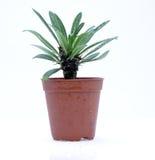кактус potted Стоковая Фотография