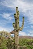 Кактус Saguaro в цветени Стоковая Фотография