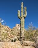 Кактус Saguaro на следе пика башенкы в Scottsdale, AZ стоковое изображение rf