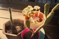 Кактус succulents Стоковая Фотография