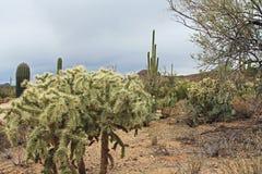 Кактус Teddybear Cholla в пустыне Sonoran Стоковая Фотография