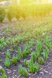 Как вырасти тюльпаны Предыдущие ростки тюльпанов в парке на солнечный день Вертикальная предпосылка Солнечный свет на тюльпанах р стоковое изображение