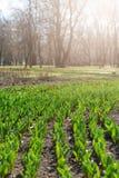 Как вырасти тюльпаны Предыдущие ростки тюльпанов в парке на солнечный день Вертикальная предпосылка Солнечный свет на тюльпанах р стоковое фото