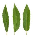 как листья каштана предпосылки флористические хорошие Стоковая Фотография RF
