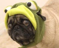 как милый одетьнный pug лягушки Стоковая Фотография