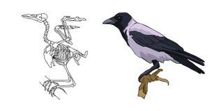 как полет птицы если портретированный скелет Ворона бескостные вектор Стоковая Фотография RF