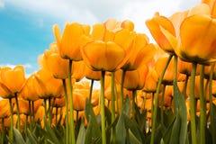 как раз желтый цвет Стоковая Фотография RF