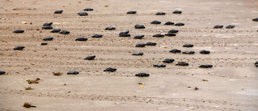 Как раз насиженные зеленые черепахи идут к океану стоковое изображение rf