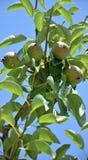 Как раз распыленные груши на дереве Стоковое Фото