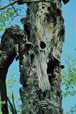 Как раз расшива на дереве Стоковое Фото