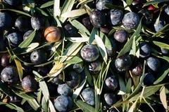 Как раз сжатые оливки Стоковое Изображение RF