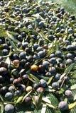 Как раз сжатые оливки Стоковые Фотографии RF