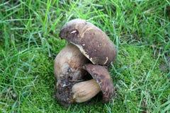 Как раз сжатый гриб подосиновика edulis, Стоковые Изображения