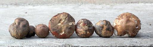 Как раз сжатый гриб подосиновика edulis, Стоковые Фото