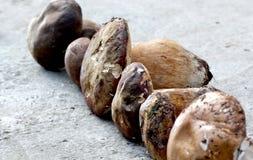 Как раз сжатый гриб подосиновика edulis, Стоковая Фотография