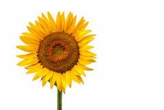 Как раз солнцецвет изолированный на белой предпосылке с космосом для текста или рекламы Стоковые Фото