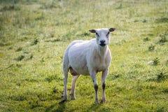 Как раз стриженые овцы стоя в траве стоковое фото rf