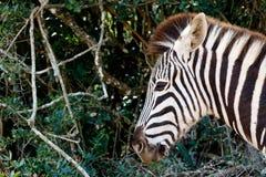 Как раз штырь острое Burchell& x27; зебра s Стоковое Изображение
