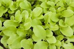Как салат вырастите вверх в парнике стоковое фото rf
