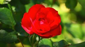 как символа романс влюбленности приветствию зеленого цвета фокуса карточки предпосылки Валентайн красного розового полезное Стоковые Фотографии RF
